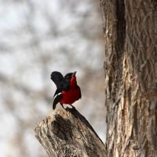 Botswana_rode vogel