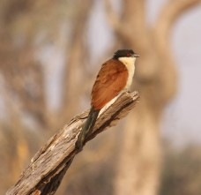 Botswana_bruine vogel