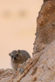 Namibië_mountainhamster