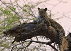 75_Leopard_on_branch_editGA