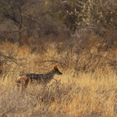 18_Blackbacked_Jackal