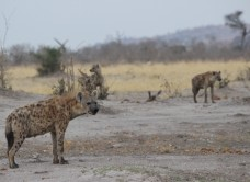 64_Hyena_three_looking_slightly_towards
