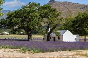 franschhoek lavendel velden lavender fields