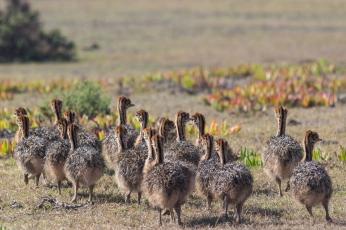 Ostrich young struisvogel kleintjes