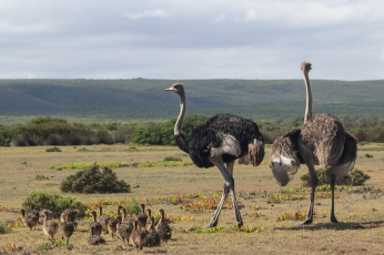 Ostrich with young
