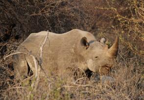 79_Rhino_bwa 2